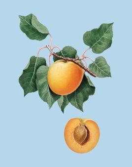 Ilustración de albaricoque alemán de pomona italiana