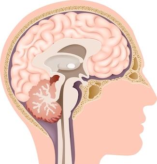 Ilustración de la anatomía del cerebro interno humano