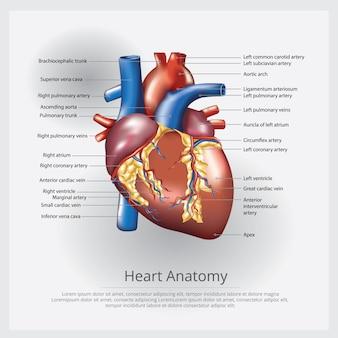 Ilustración de anatomía del corazón humano