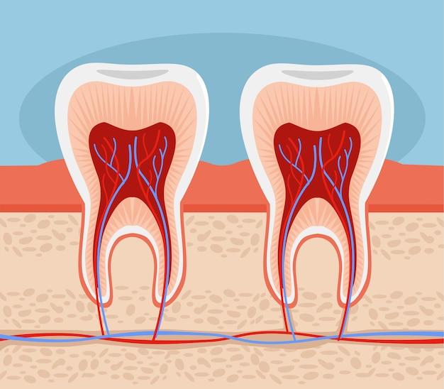 Ilustración de anatomía del diente
