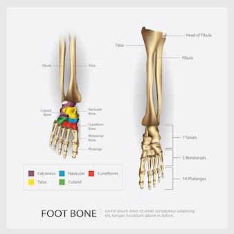 Ilustración de anatomía del hueso del pie