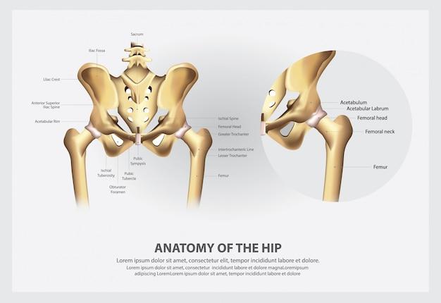 Ilustración de anatomía humana de la cadera