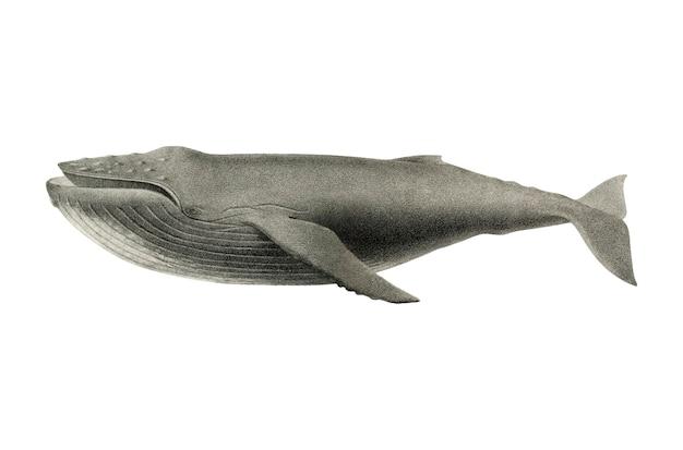 Ilustración de ballena vintage