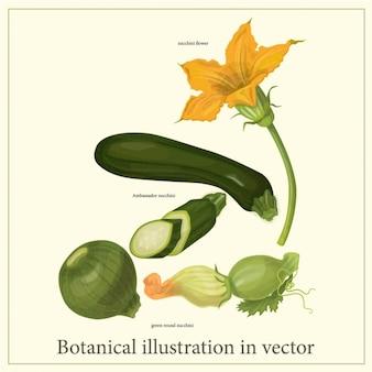 Ilustración botánica de calabacín