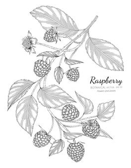 Ilustración botánica dibujada a mano de frambuesa con arte lineal sobre fondos blancos.