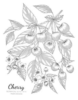Ilustración botánica dibujada a mano de fruta de cereza con arte lineal sobre fondos blancos.