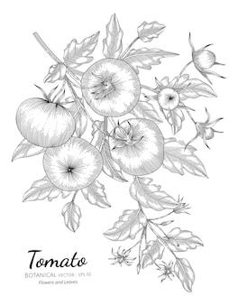 Ilustración botánica dibujada a mano de tomate con arte lineal sobre fondos blancos.