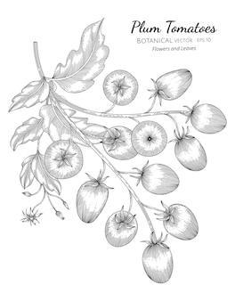 Ilustración botánica dibujada a mano de tomate ciruela con arte lineal sobre fondos blancos.