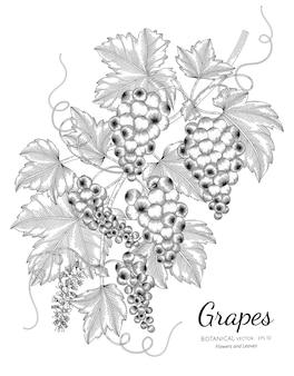 Ilustración botánica dibujada a mano de uvas con arte lineal sobre fondos blancos.