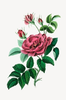 Ilustración botánica de flores color de rosa