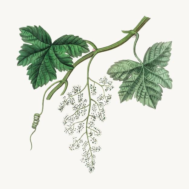 Ilustración botánica de vid de uva