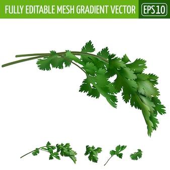 Ilustración de cilantro en blanco