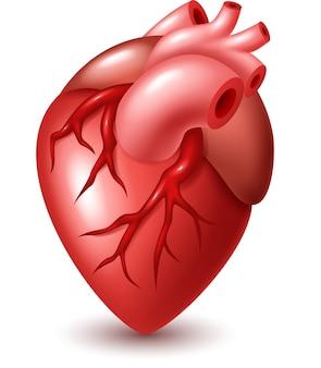 Ilustración del corazón humano