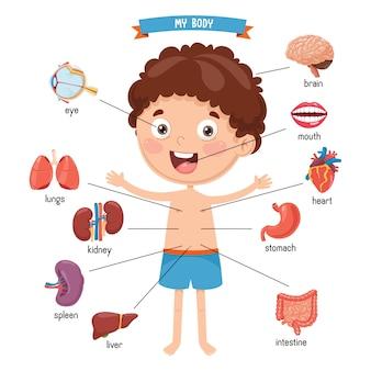 Ilustración del cuerpo humano