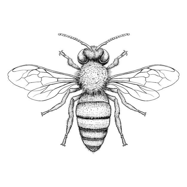 Ilustración de grabado de abeja de miel sobre fondo blanco