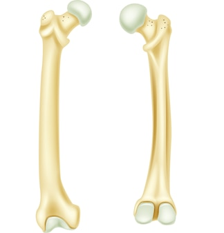 Ilustración de la anatomía del hueso humano