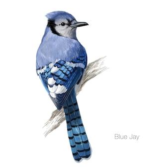 Ilustración del ave arrendajo azul