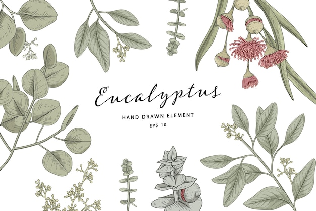Ilustración de dibujado a mano de marco botánico de planta de eucalipto