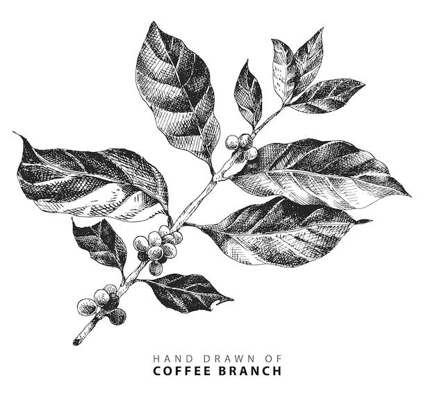 Ilustración de dibujado a mano de rama de café con frijoles frutas en estilo vintage