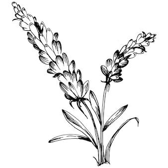 Ilustración de dibujo aislado lavanda. elemento dibujado a mano para boda hierba, planta o monograma con hojas elegantes para invitación guardar el diseño de la tarjeta de fecha. verde botánico rústico de moda.
