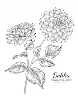 Ilustración de dibujo de flor de dalia con arte lineal sobre fondos blancos.