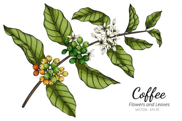 Ilustración del dibujo de la flor y de la hoja del café con el arte lineal en los fondos blancos.