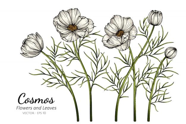 Ilustración de dibujo de flor y hoja de cosmos blanco