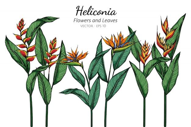 Ilustración de dibujo de flor y hoja de heliconia con arte lineal sobre fondos blancos.