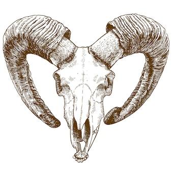 Ilustración de dibujo grabado de cráneo de muflón