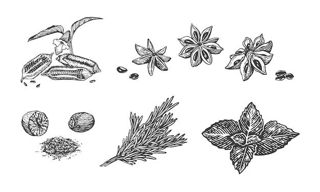 Ilustración de dibujo vectorial de especias hierbas de cocina dibujadas a mano albahaca romero nuez moscada anís estrellado sésamo