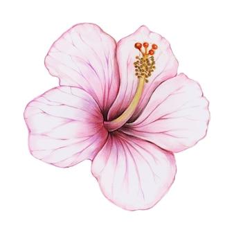 Ilustración del estilo acuarela de la flor de hibisco