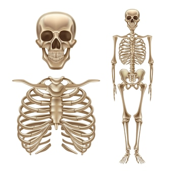 Ilustración de estructura anatómica esqueleto humano 3d