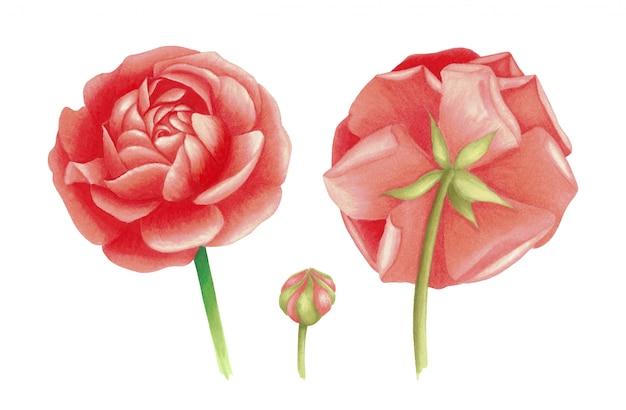 Ilustración de flor de anémona. dibujo acuarela simple aislado
