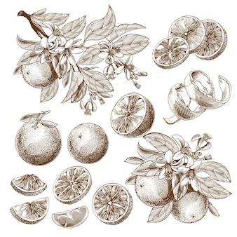 Ilustración de fruta naranja, flores, hojas y ramas dibujo monocromático vintage.