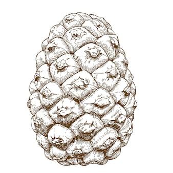 Ilustración de grabado de conos de cedro
