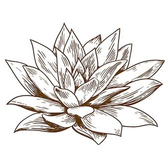 Ilustración de grabado de echeveria suculenta