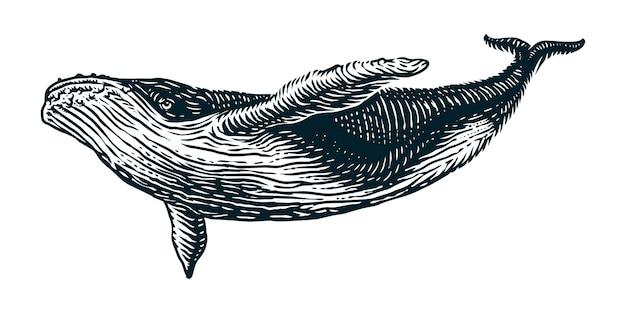 Ilustración de grabado de vector de ballena jorobada