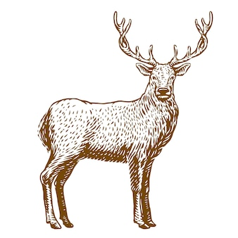 Ilustración de grabado de vector de ciervo macho