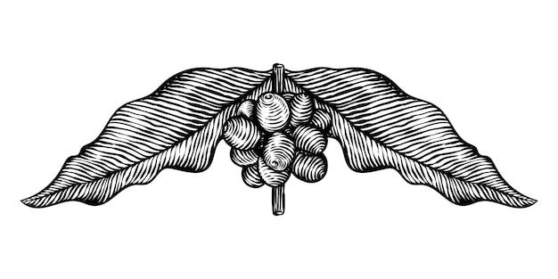 Ilustración de grabado de vector de hojas de café