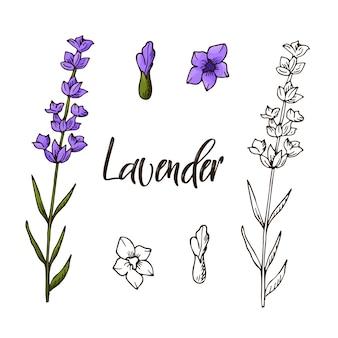 Ilustración de hierba lavanda de mano