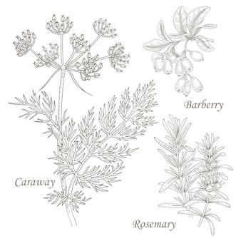 Ilustración de hierbas medicinales alcaravea, agracejo, romero.