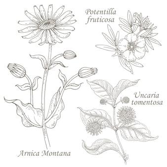 Ilustración de hierbas medicinales, árnica, potentilla, uncaria.