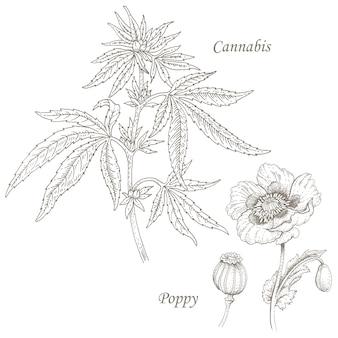 Ilustración de hierbas medicinales cannabis, amapola.