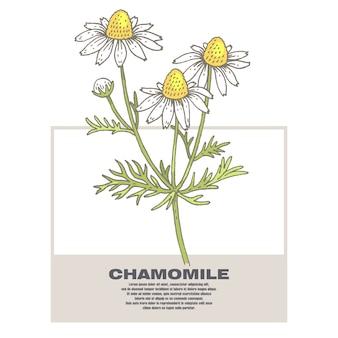 Ilustración de hierbas medicinales manzanilla.