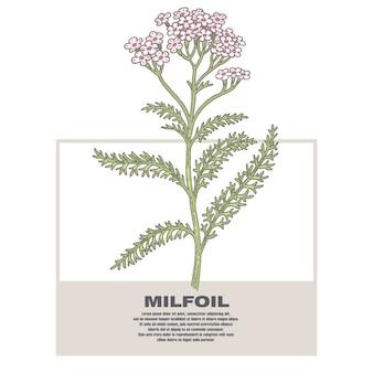 Ilustración de hierbas medicinales milfoil.