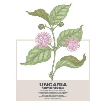 Ilustración de hierbas medicinales uncaria tormentosa.