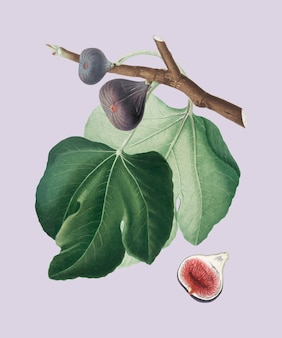 Ilustración de higo negro de pomona italiana