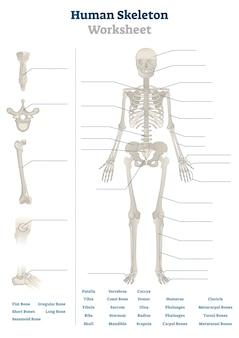 Ilustración de hoja de trabajo de esqueleto humano