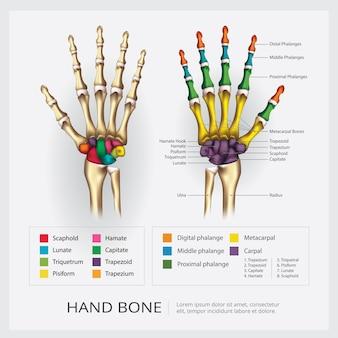 Ilustración de hueso de mano humana