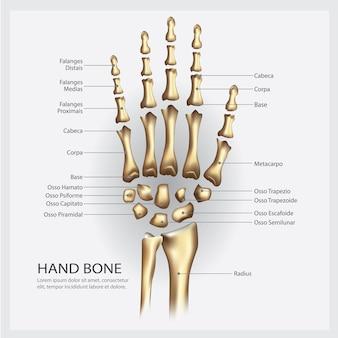Ilustración del hueso de la mano humana